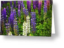 Lupins in Newfoundland meadow Greeting Card by Elena Elisseeva