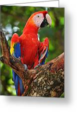 Macaw Of Copan Greeting Card by Paul Bratescu