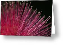 Macro Photograph Of A Calliandra Flower. Greeting Card by Zoe Ferrie