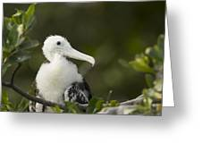 Magnificent Frigatebrid Chick Perched Greeting Card by Tim Laman