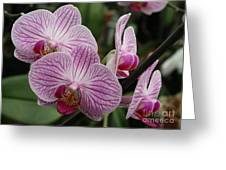 Majestic Orchids Greeting Card by Carol Groenen