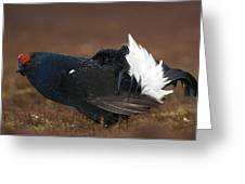 Male Black Grouse Displaying Greeting Card by Duncan Shaw