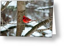 Male Cardinal In Winter Greeting Card by Ron Smith