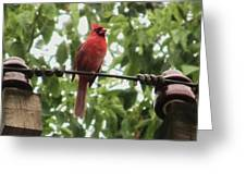 Male Cardinal One Greeting Card by Todd Sherlock