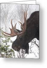 Male Moose Grazing In Winter, Gaspesie Greeting Card by Philippe Henry
