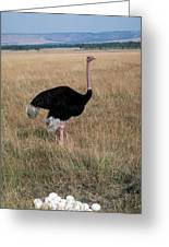 Male Ostrich With Eggs Greeting Card by Carl Purcell