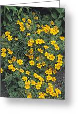 Marigolds (tagetes 'tangerine Gem') Greeting Card by Adrian Thomas