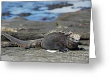 Marine Iguana Lying On Rock By Water Greeting Card by Sami Sarkis