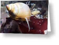 Marine Snail Greeting Card by Alexander Semenov