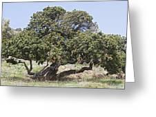 Mastic Tree (pistacia Lentiscus Var.chia) Greeting Card by Bob Gibbons