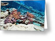 Mating Pair Of Day Octopuses Greeting Card by Georgette Douwma