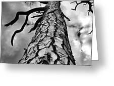 Medusa Pine Greeting Card by Lynda Dawson-Youngclaus