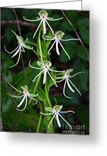 Michaux Orchid Greeting Card by Barbara Bowen
