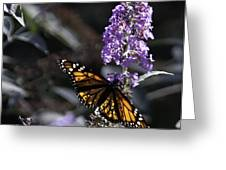 Monarch in Backlighting Greeting Card by Rob Travis