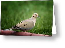 Mourning Dove Greeting Card by Bill Tiepelman