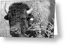 Mr Goodnight's Bison Greeting Card by Melany Sarafis