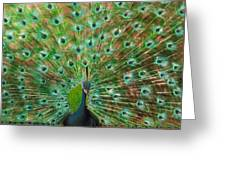 Mr. Peacock Greeting Card by Sherry Robinson