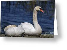 Mute Swans By Lagoon Greeting Card by Sharon  Talson