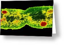 Mycobacterium Dividing, Tem Greeting Card by