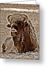 Napping Bison Greeting Card by Monica Wheelus