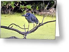 Night-heron Greeting Card by Al Powell Photography USA
