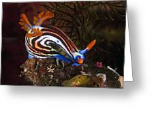 Nudibranch Greeting Card by Matthew Oldfield