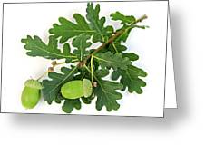 Oak Branch With Acorns Greeting Card by Elena Elisseeva