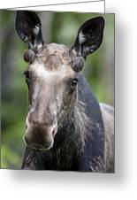 One Year Old Bull Moose With Growing Greeting Card by Philippe Henry