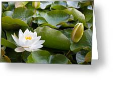 Open And Closed Water Lily Greeting Card by Semmick Photo