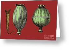 Opium Harvesting Greeting Card by Science Source