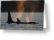 Orca Orcinus Orca Resident Pod Greeting Card by Hiroya Minakuchi
