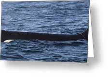 Orca Orcinus Orca Surfacing Showing Greeting Card by Matthias Breiter