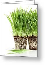 Organic Wheat Grass On White Greeting Card by Sandra Cunningham