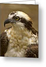 Osprey Portrait Greeting Card by Anne Rodkin