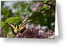 Papilio Glaucus   Eastern Tiger Swallowtail  Greeting Card by Sharon Mau