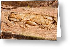 Parasitized Ash Borer Larva Greeting Card by Science Source
