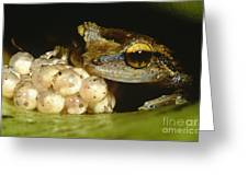 Parental Care By Tree Frog Greeting Card by Dante Fenolio