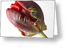 Parrot Tulip 1 Greeting Card by Robert Ullmann