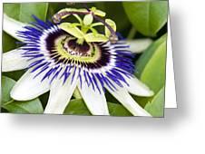 Passion Flower (passiflora Caerulea) Greeting Card by Adrian Bicker