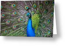 Peacock Greeting Card by Holger Ostwald
