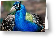 Peacock Greeting Card by Imagevixen Photography