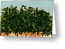 Photoperiodicity In Soybean Plants Greeting Card by Science Source