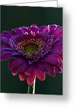 Pink Gerbera Light Greeting Card by Bill Tiepelman