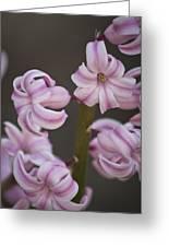 Pink Hyacinth 2 Greeting Card by Teresa Mucha
