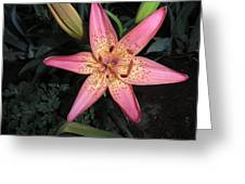 Pink Lily Greeting Card by Kate Gallagher