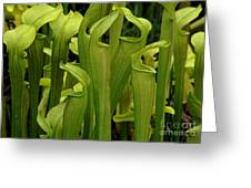 Pitcher Plants Greeting Card by Bob Christopher