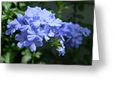 Plumbago Greeting Card by Christy Usilton