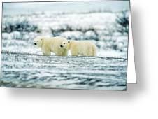 Polar Bears, Churchill, Manitoba Greeting Card by Mike Grandmailson
