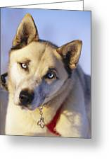 Portrait Of A Blue-eyed Husky Greeting Card by Paul Nicklen