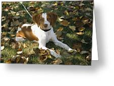 Portrait Of A Brittany Spaniel Puppy Greeting Card by Paul Damien